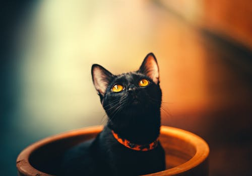 Selective Focus Photography of Bombay Cat