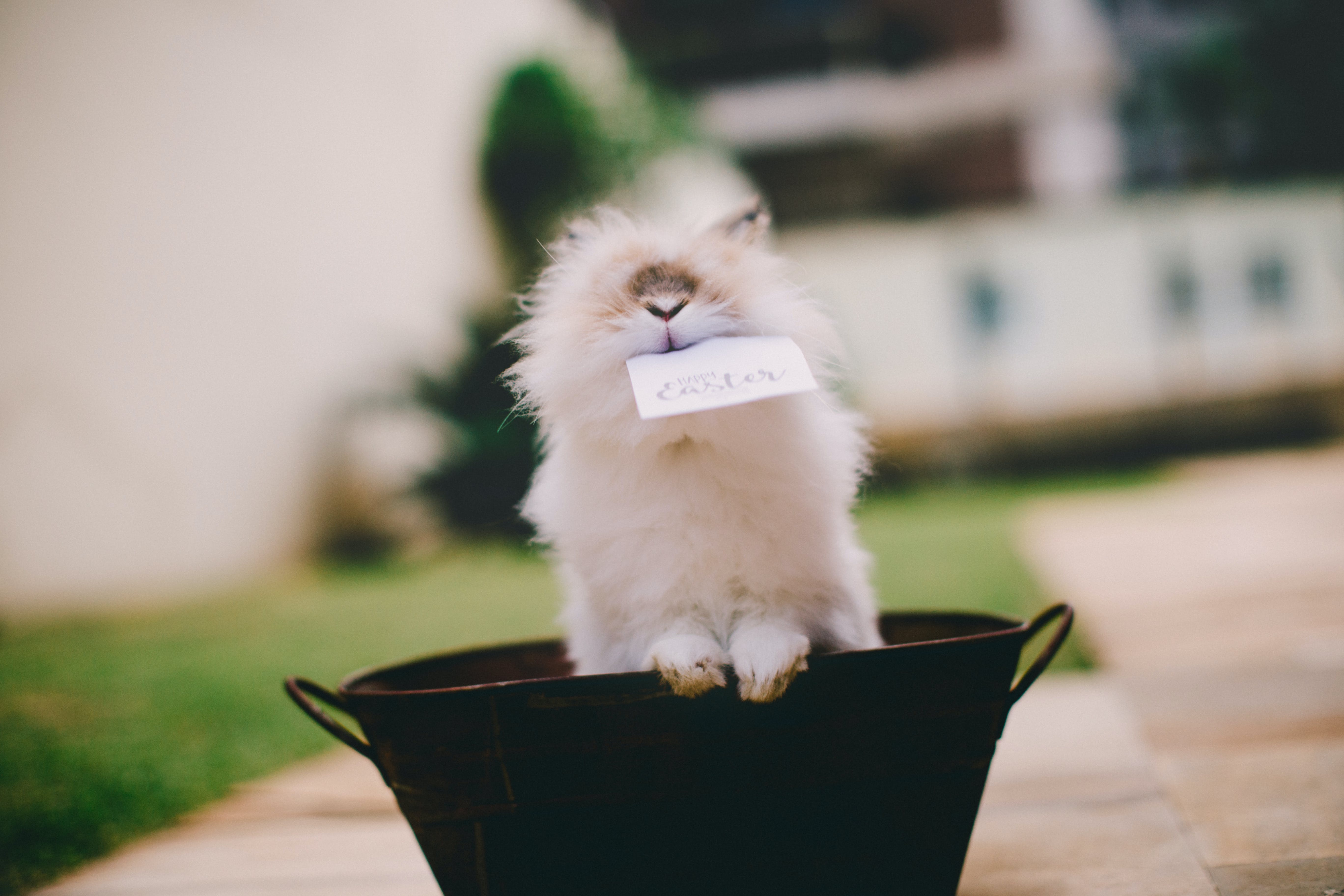 Long-haired Rabbit Inside Beverage Tub