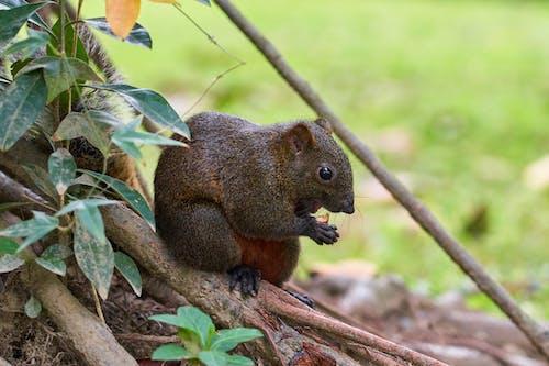 Photos gratuites de adorable, animal, écrou, écureuil