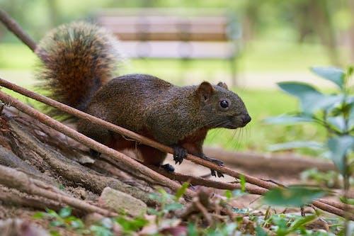 Photos gratuites de adorable, animal, écureuil, faune