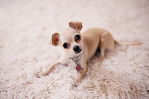 Brown Chihuahua Puppy Lying on Brown Textile