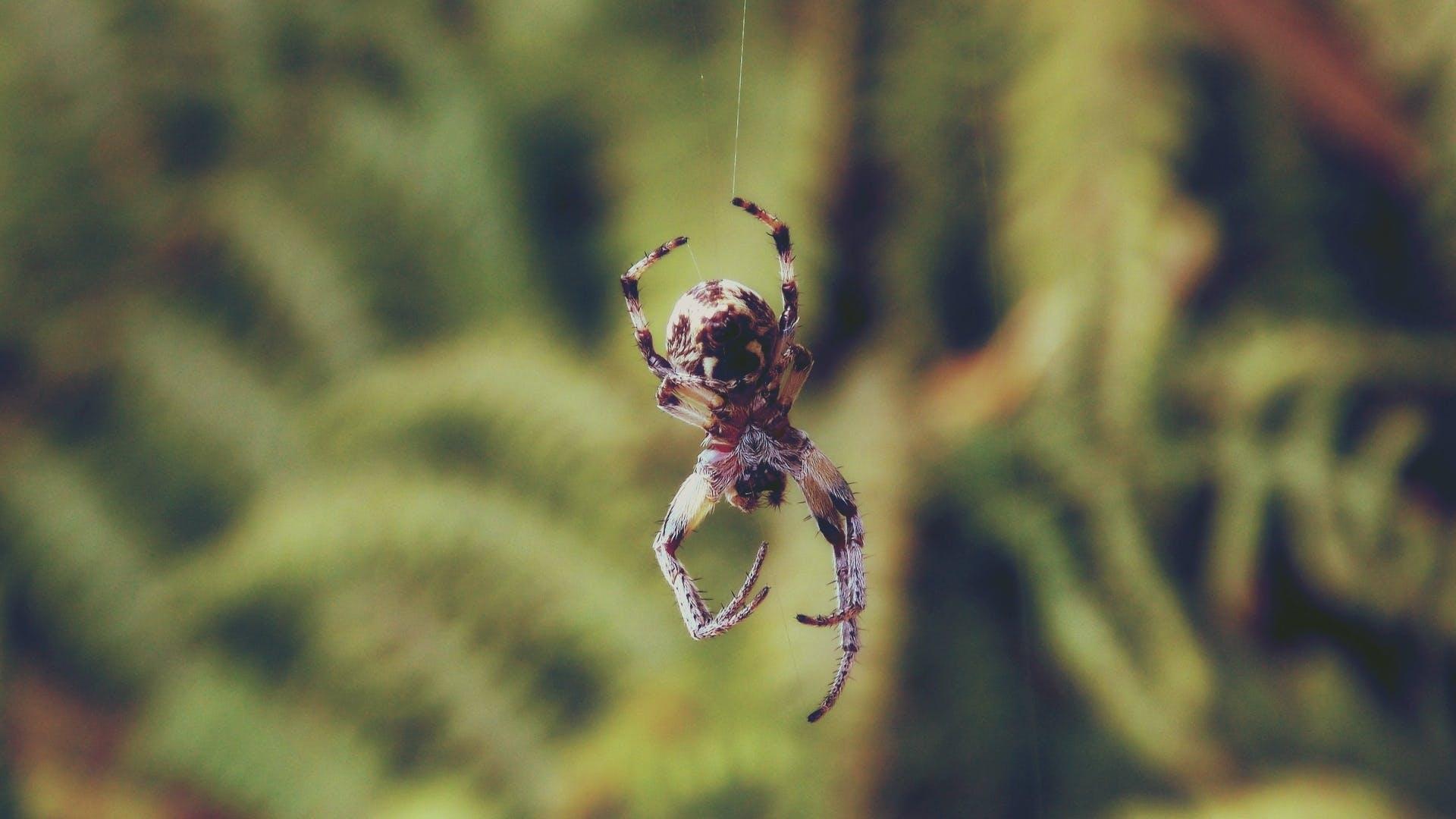 Brown Shamrock Spider