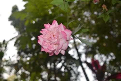 Free stock photo of 4k wallpaper, beauty in nature, flower, pervezpjs