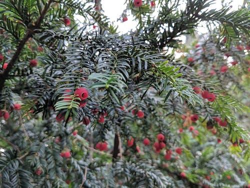 Free stock photo of berries, botanical, close up