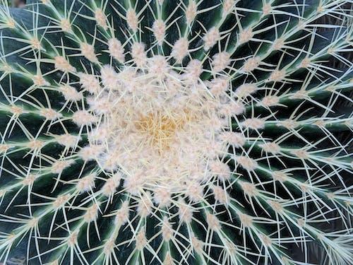 Free stock photo of botanical, cactus, center