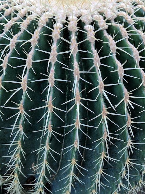 Free stock photo of botanical, cactus, close up