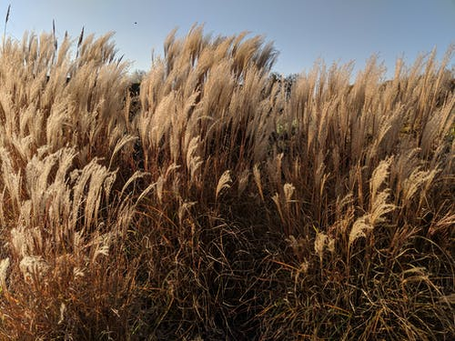 Free stock photo of dry, dry grass, field