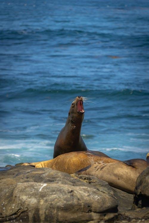 アシカ, サンディエゴ, ラホヤ, 海の動物の無料の写真素材