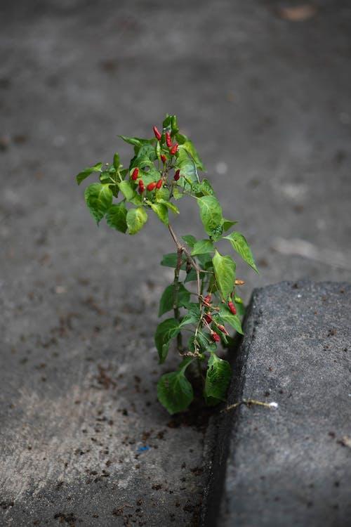 Ingyenes stockfotó Chilipaprika, zöld növények témában