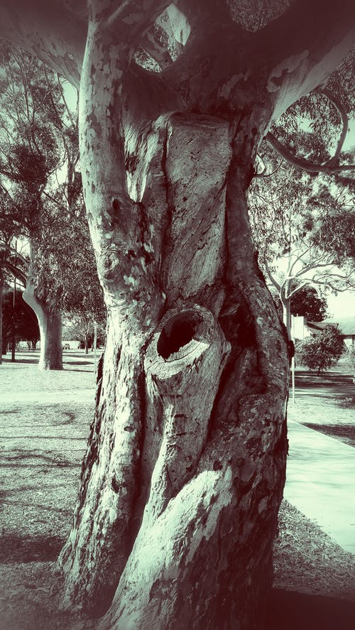Free stock photo of black and white, hollow tree, old tree, tree regrowth