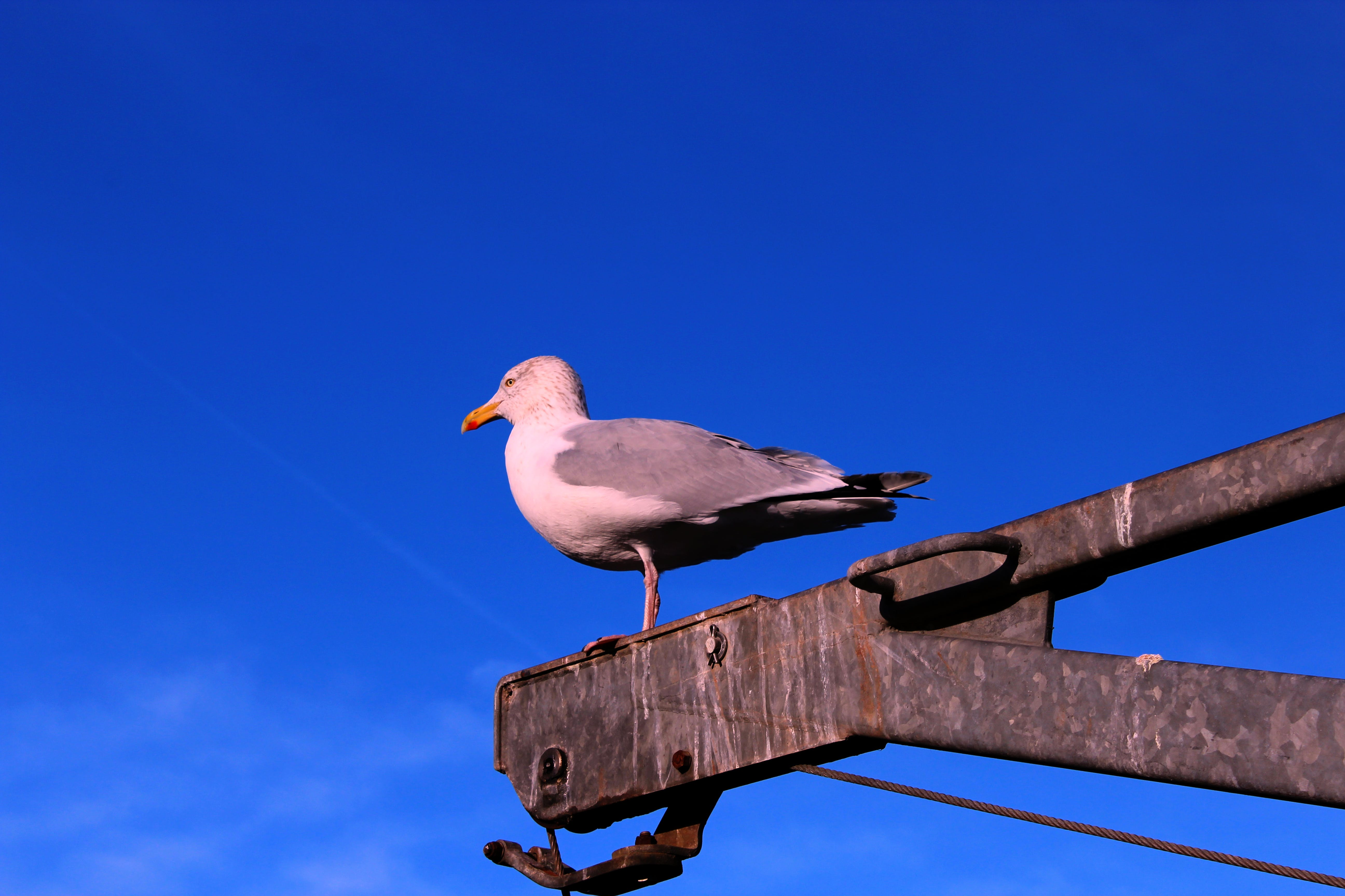 Free stock photo of dunbar, rebel panda, scotland, seagull