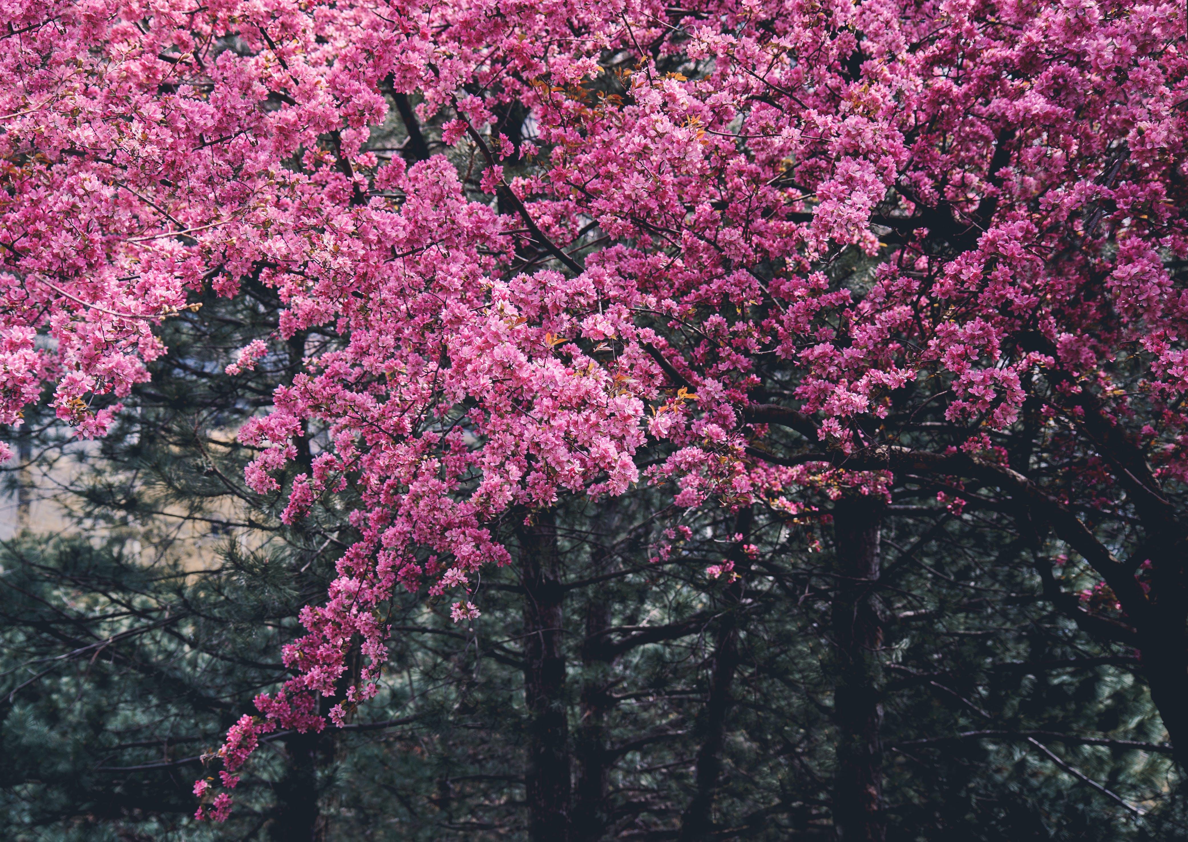 Ilmainen kuvapankkikuva tunnisteilla kasvikunta, kirsikankukka, kirsikka, kukat