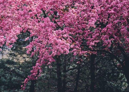 Ảnh lưu trữ miễn phí về hệ thực vật, hoa, Hoa anh đào, hoa táo