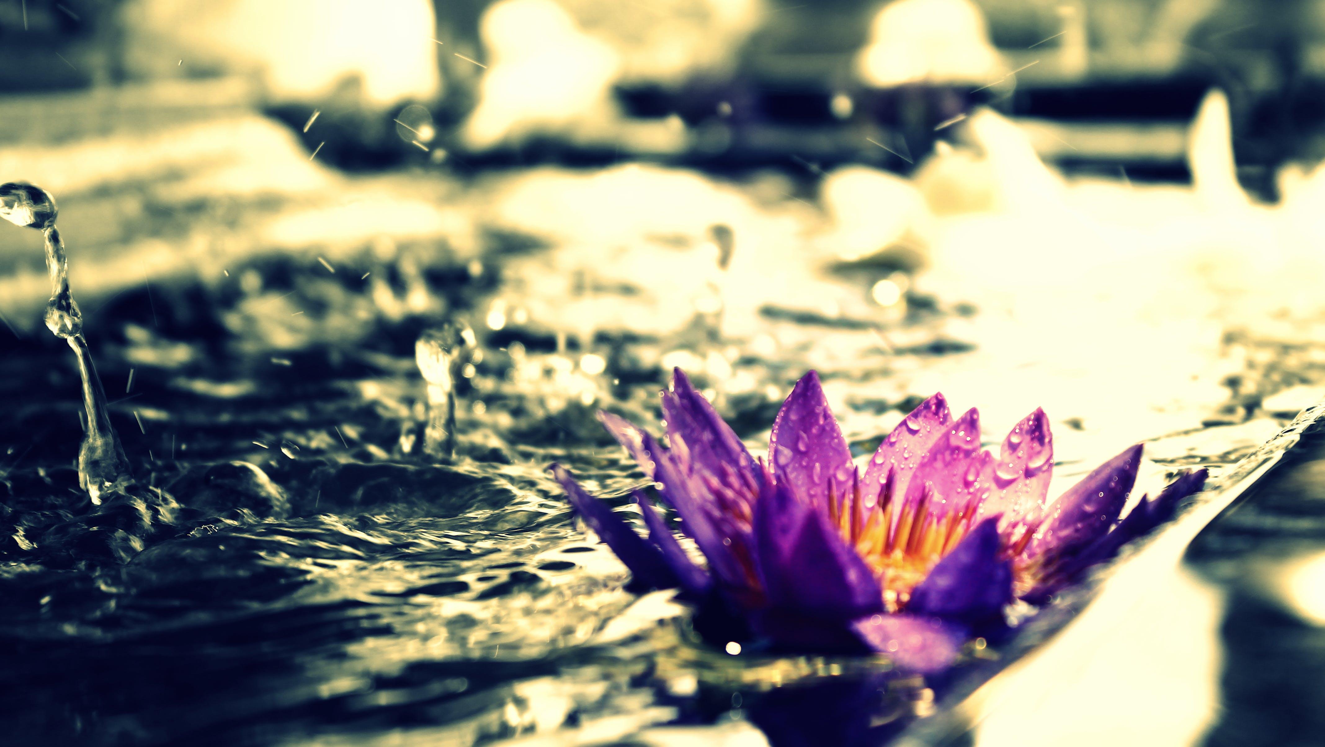 Free stock photo of beautiful flowers, blue flower, lotus flower
