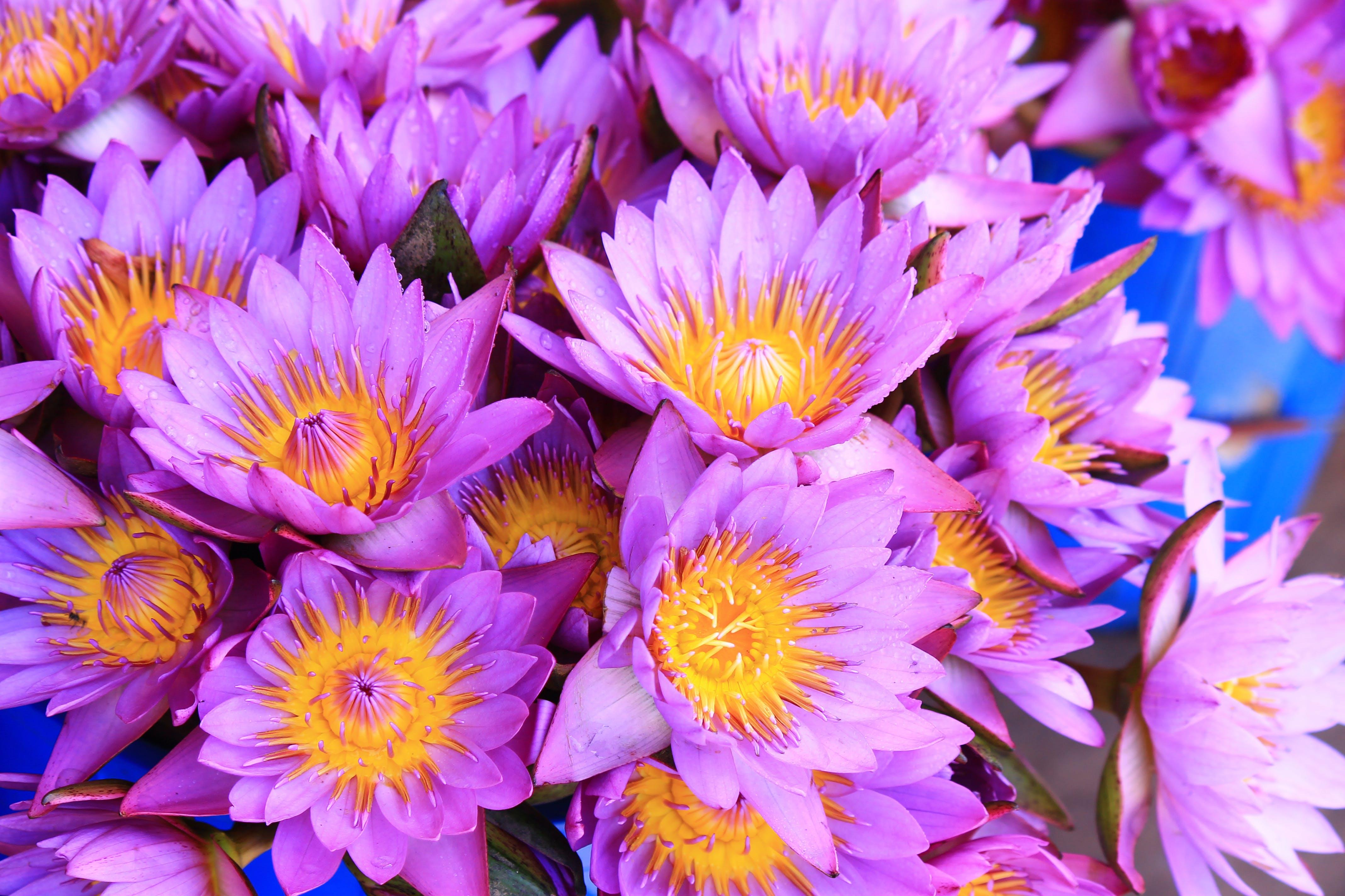 Free stock photo of beautiful flower, blue flower, lotus