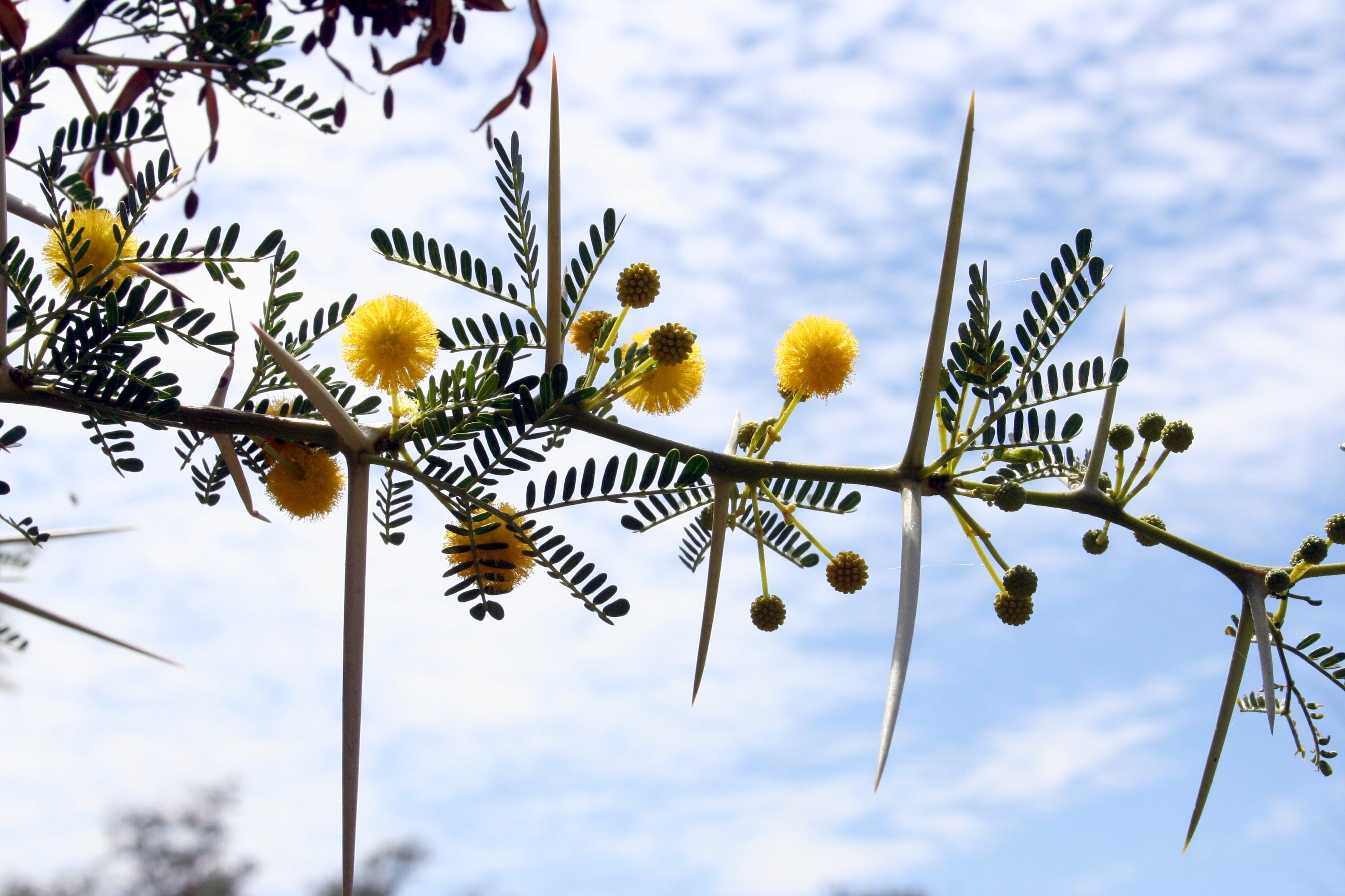 Kostenloses Stock Foto zu akazie, blühen, dornbaum, karoo