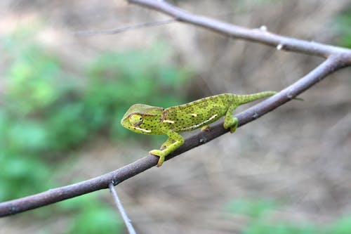 Free stock photo of camouflage, chameleon, cling