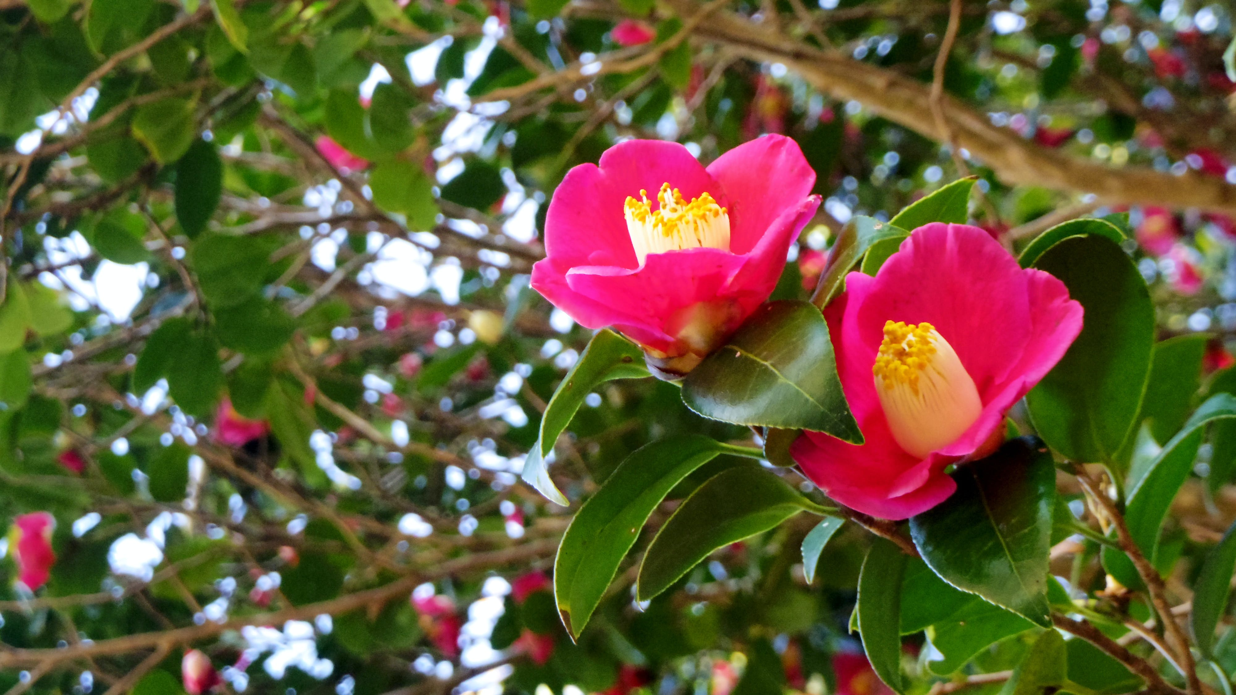 Free stock photo of camellia, red