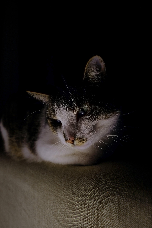 Kostenloses Stock Foto zu bezaubernd, felidae, fokus, hauskatze