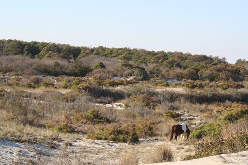 Gratis arkivbilde med assateague island, hest