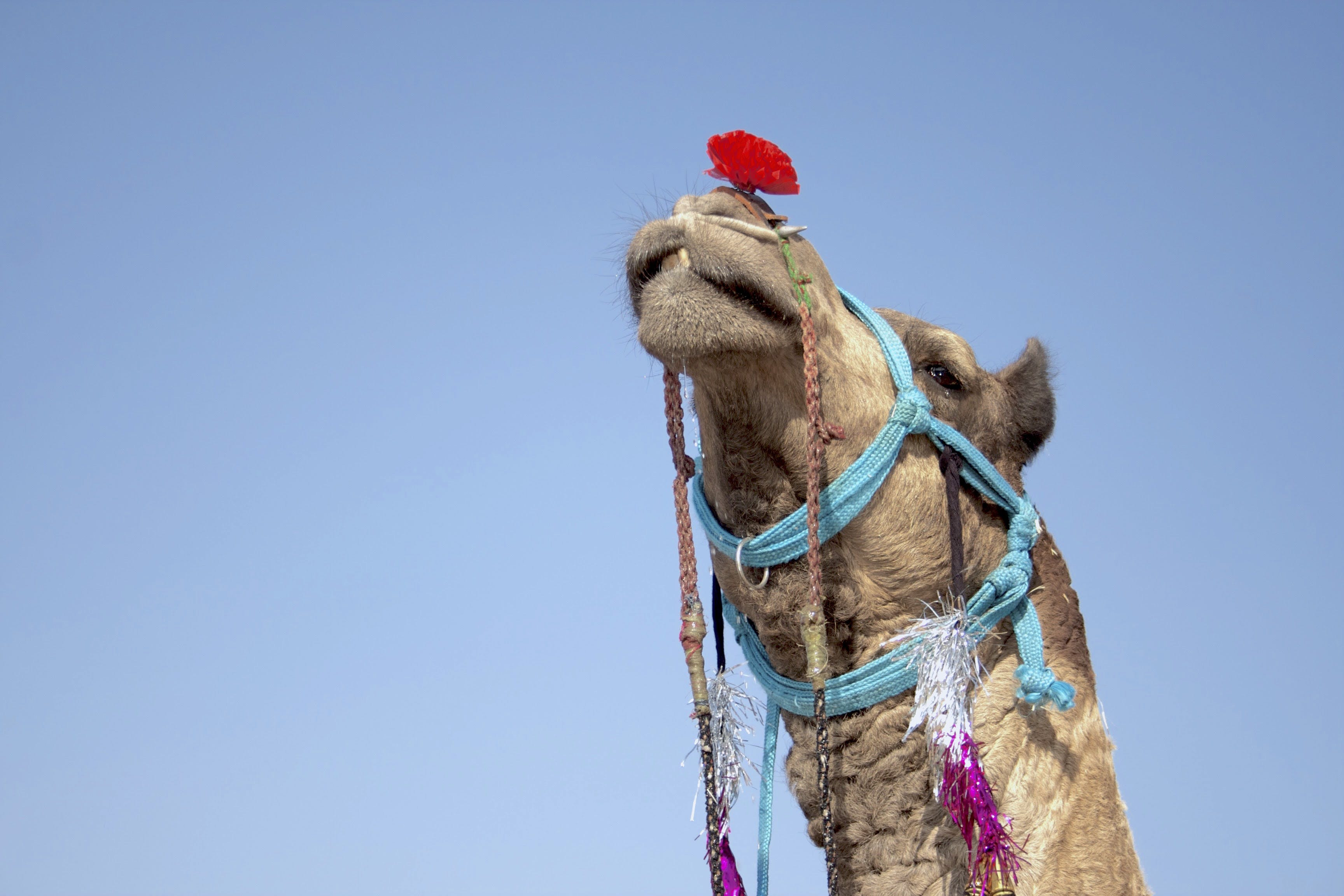 Low-angle Photography of Camel
