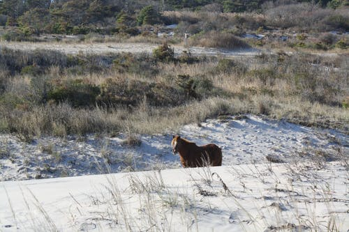 Gratis arkivbilde med assateague island, hest, sand, sanddyner