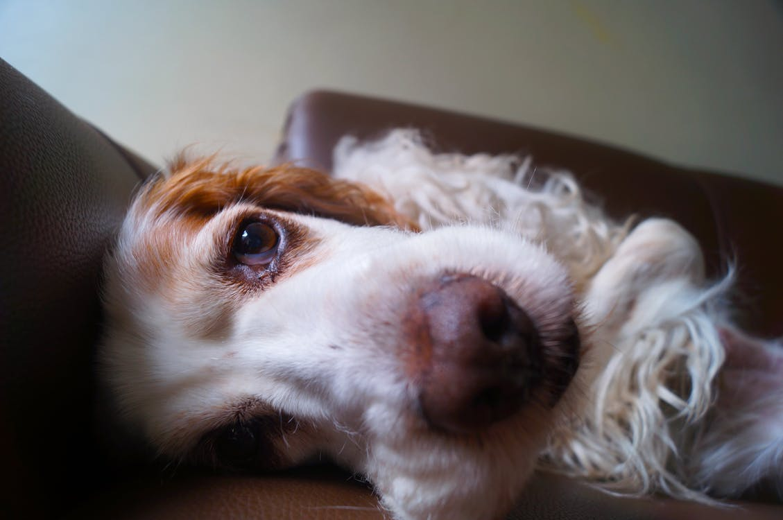 adult spaniel brown and white