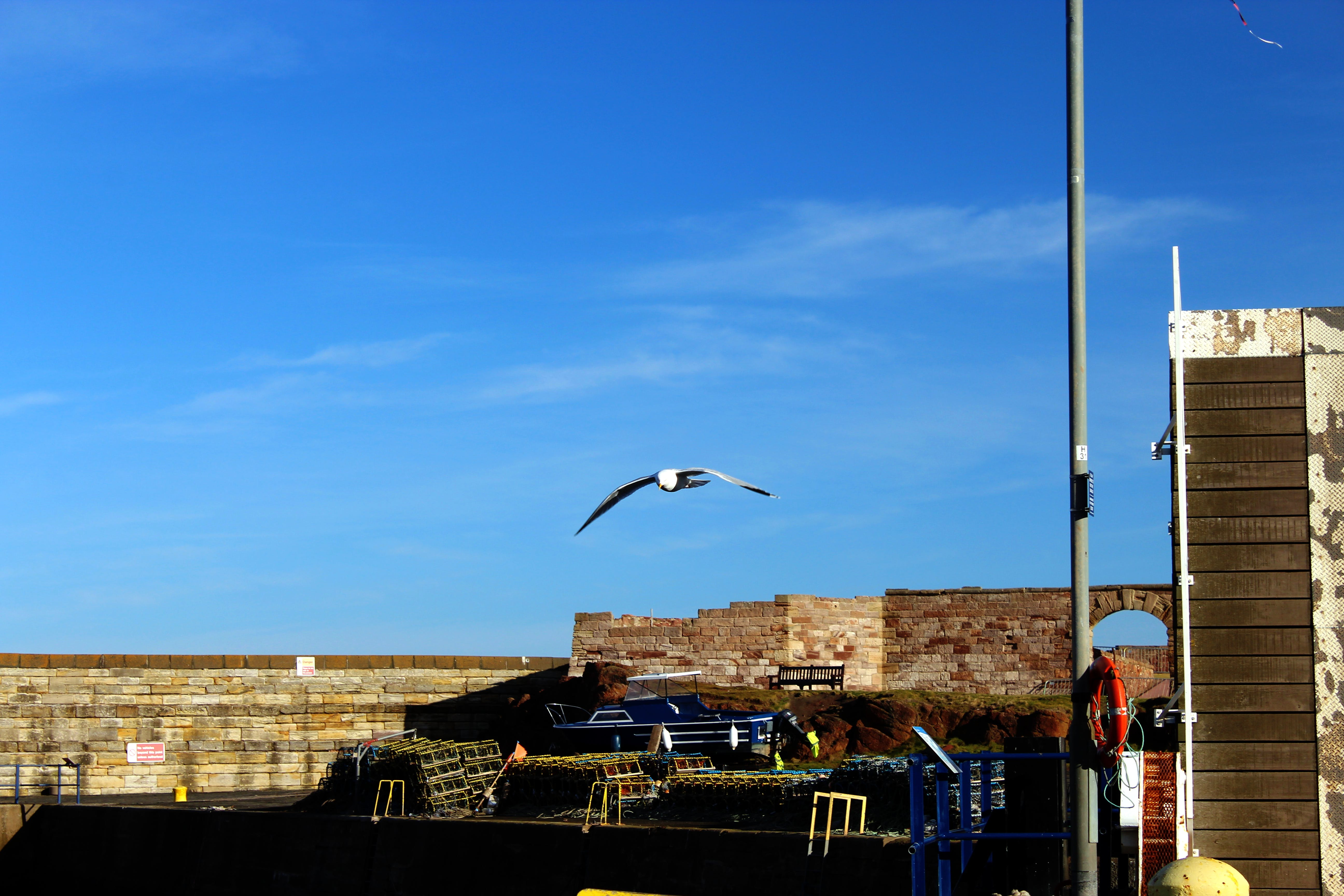 Free stock photo of dunbar, rebel panda, seabird, seagull