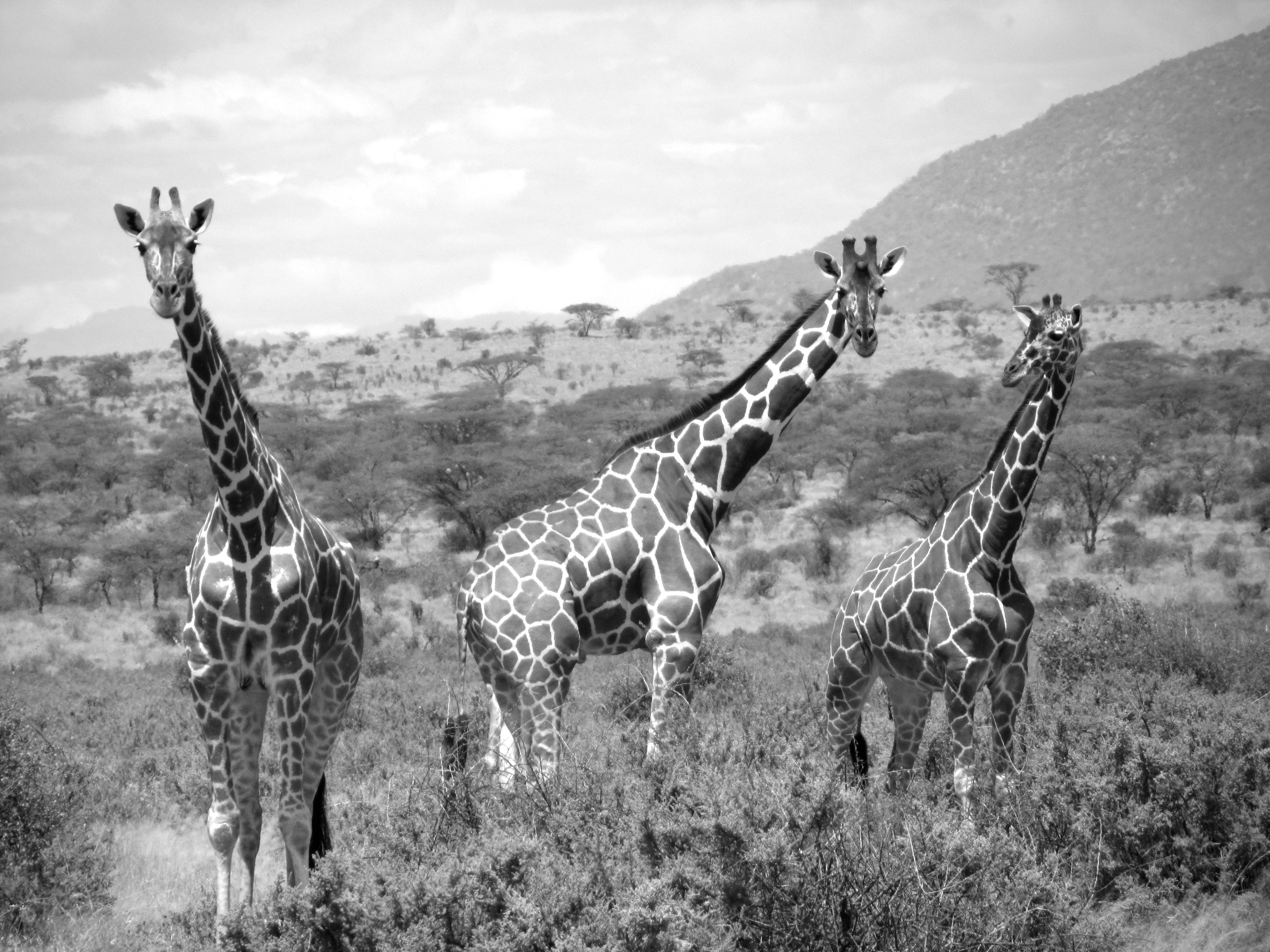 Free stock photo of b&w, Girrafe, safari