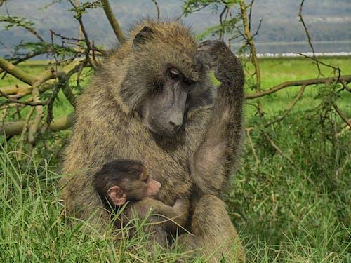 Fotos de stock gratuitas de bebé, mamá, mono