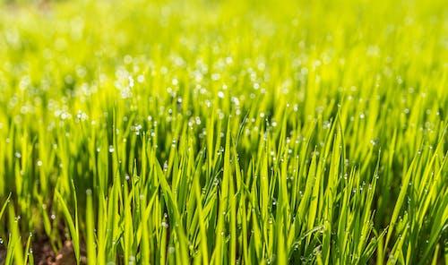 Imagine de stoc gratuită din câmp, gazon, iarbă, lan