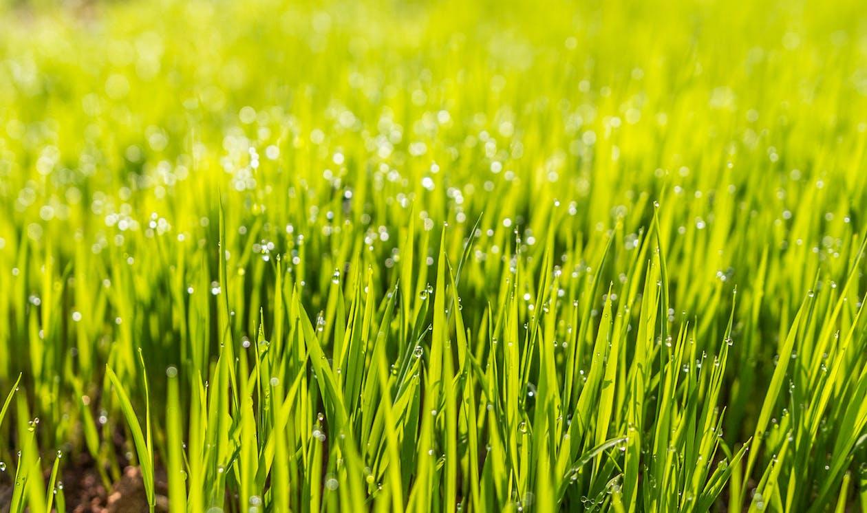 dagg, fält, gräs