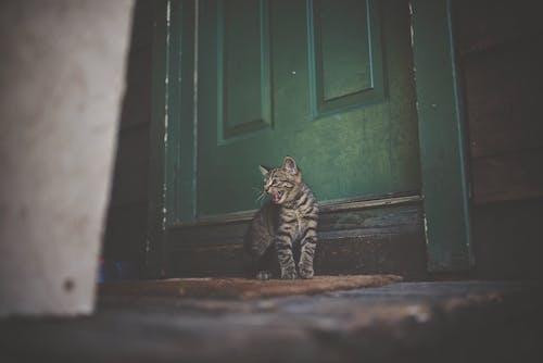 Ilmainen kuvapankkikuva tunnisteilla eläin, kissa, lemmikki, ovi
