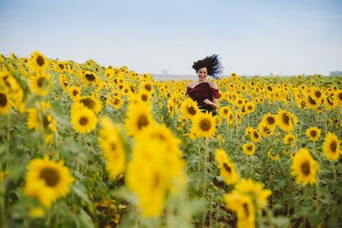 向日葵, 向日葵田, 增長, 天性 的 免費圖庫相片