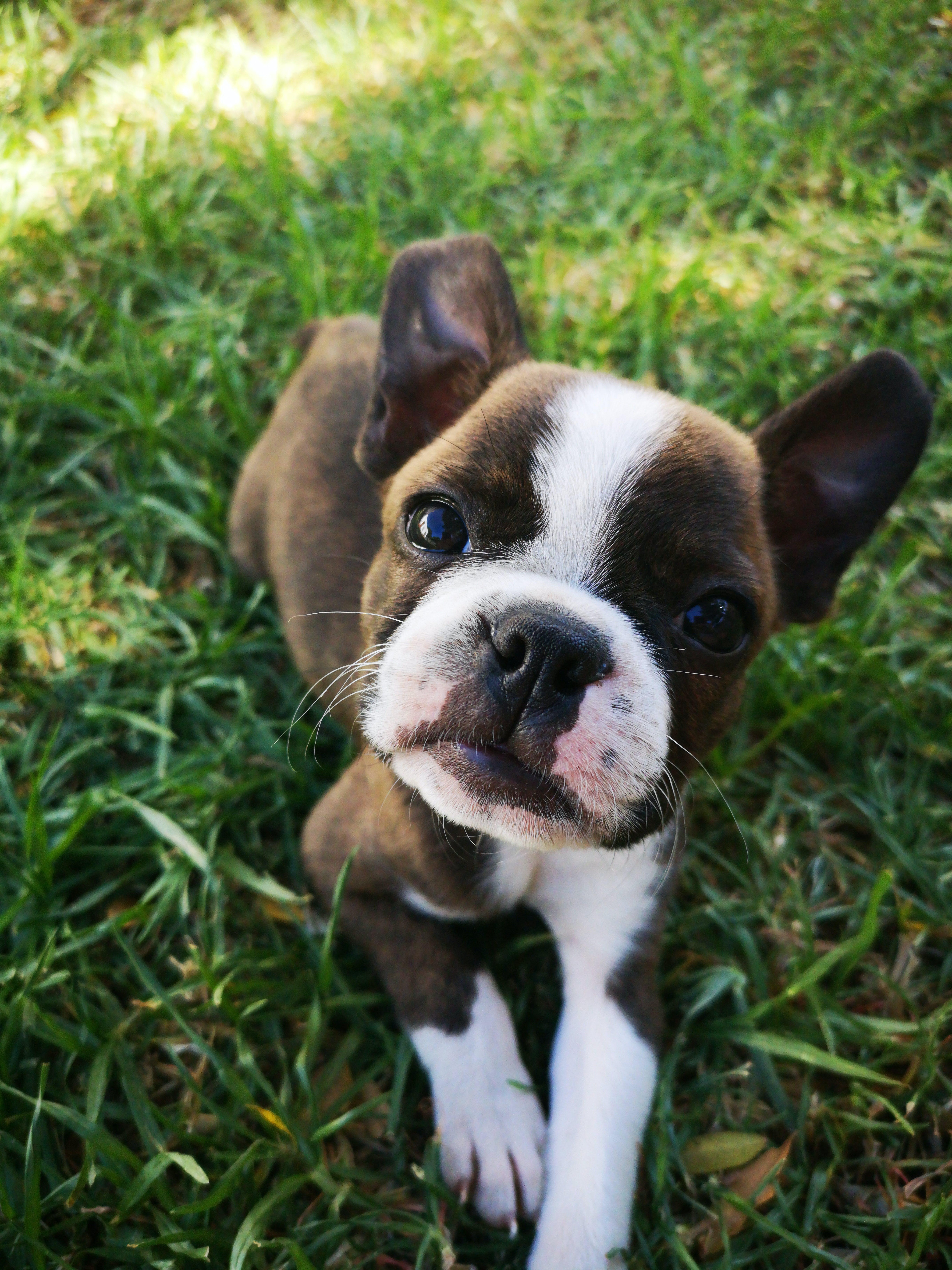 Darmowe zdjęcie z galerii z czystej krwi, fotografia zwierzęcia, mały, pies