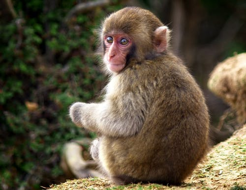 Kostenloses Stock Foto zu #monkey #japan #baby #animal