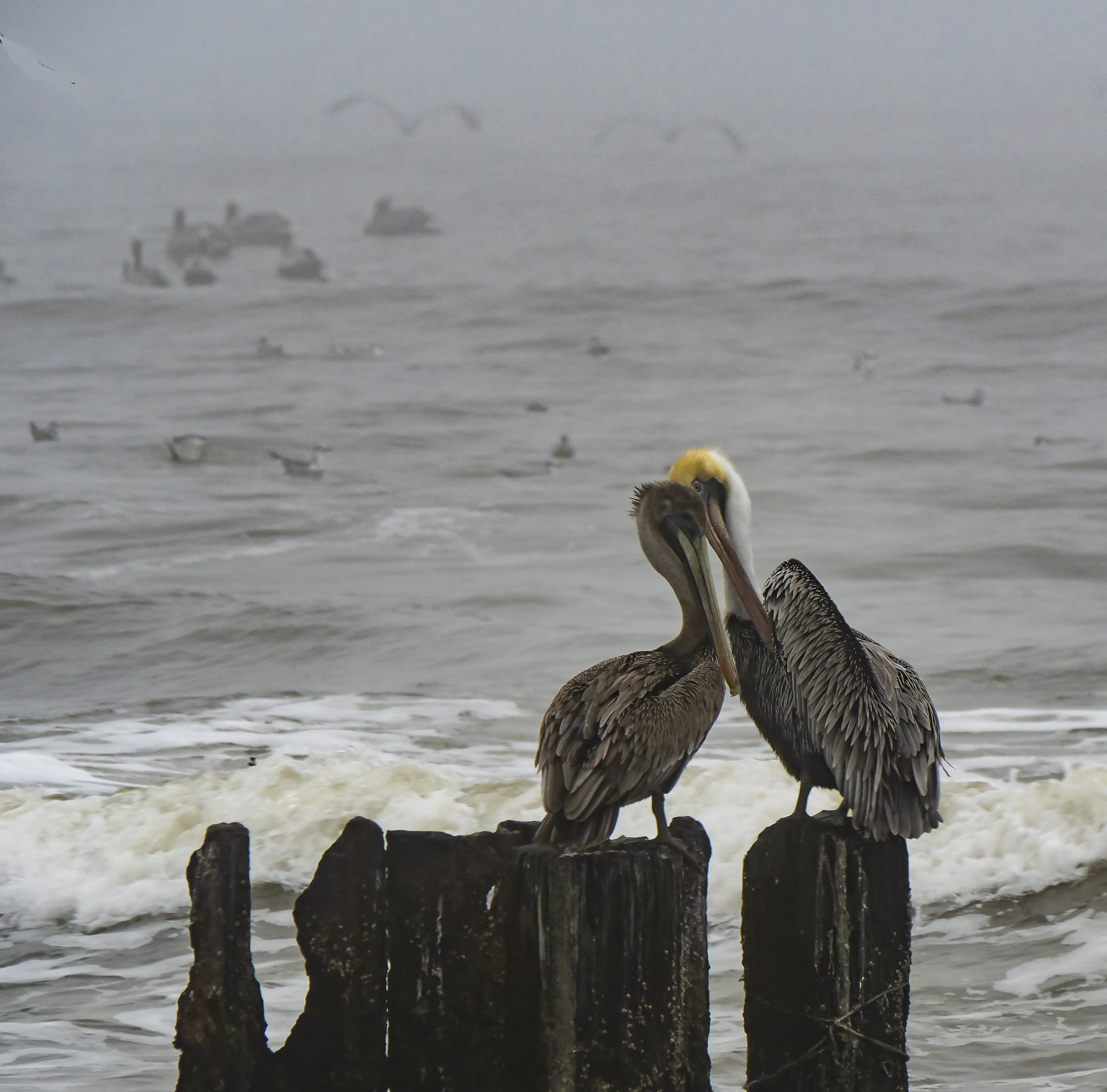 Free stock photo of love, pelicans, water