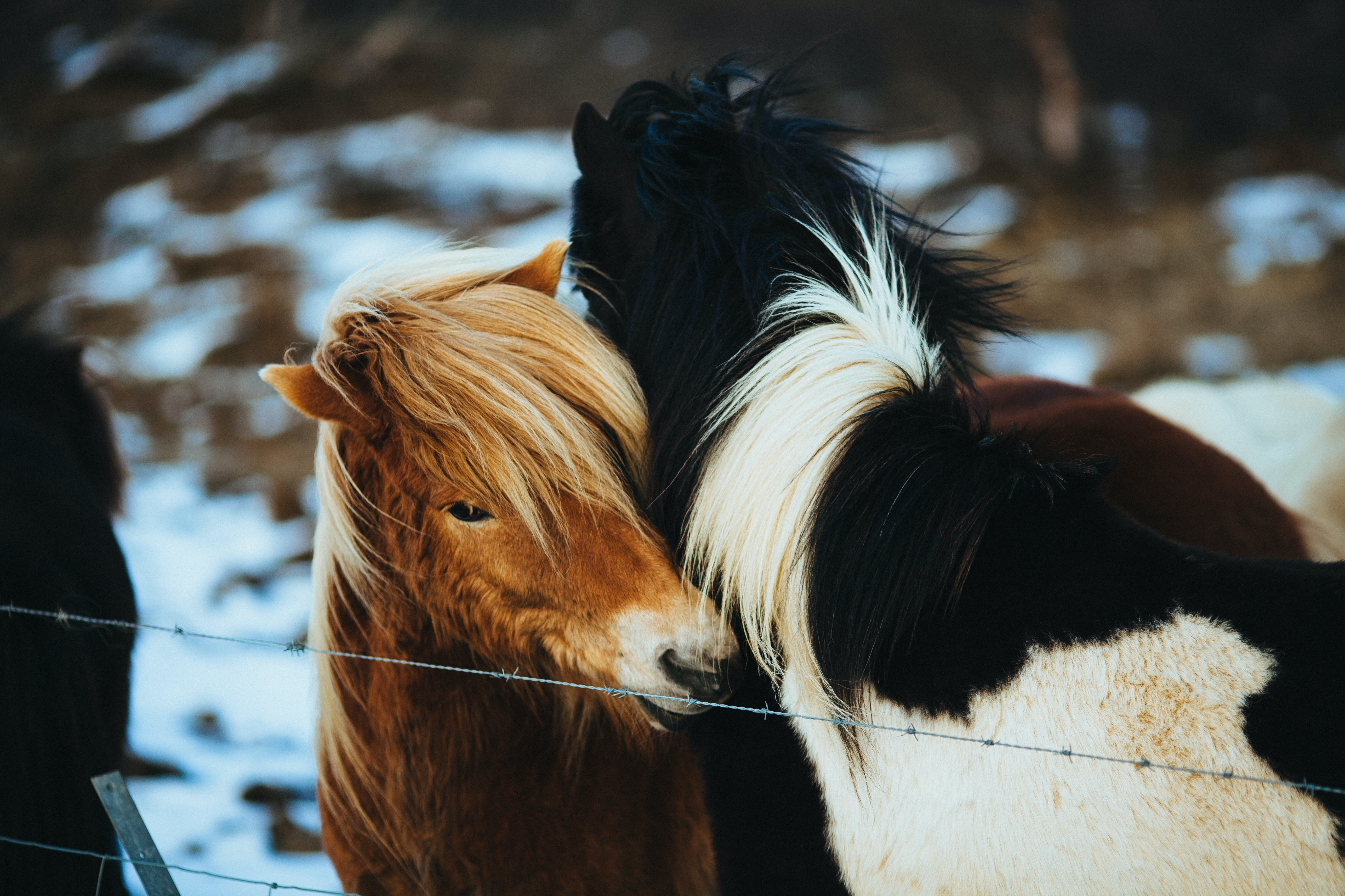 Two Horses Cuddling Beside Barbed Wire