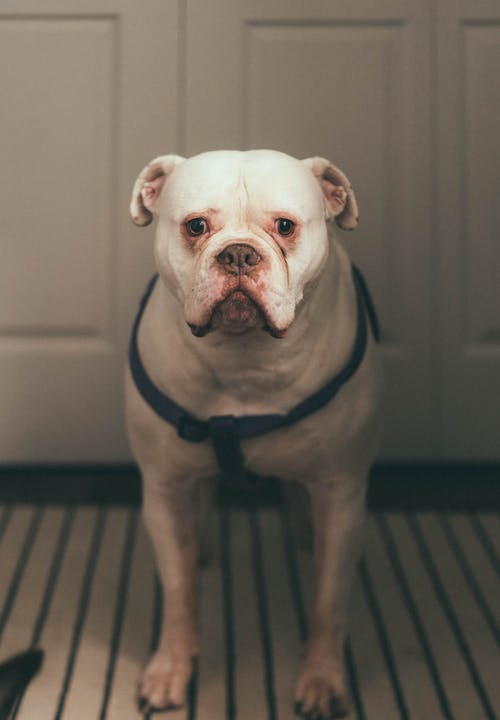White American Bully