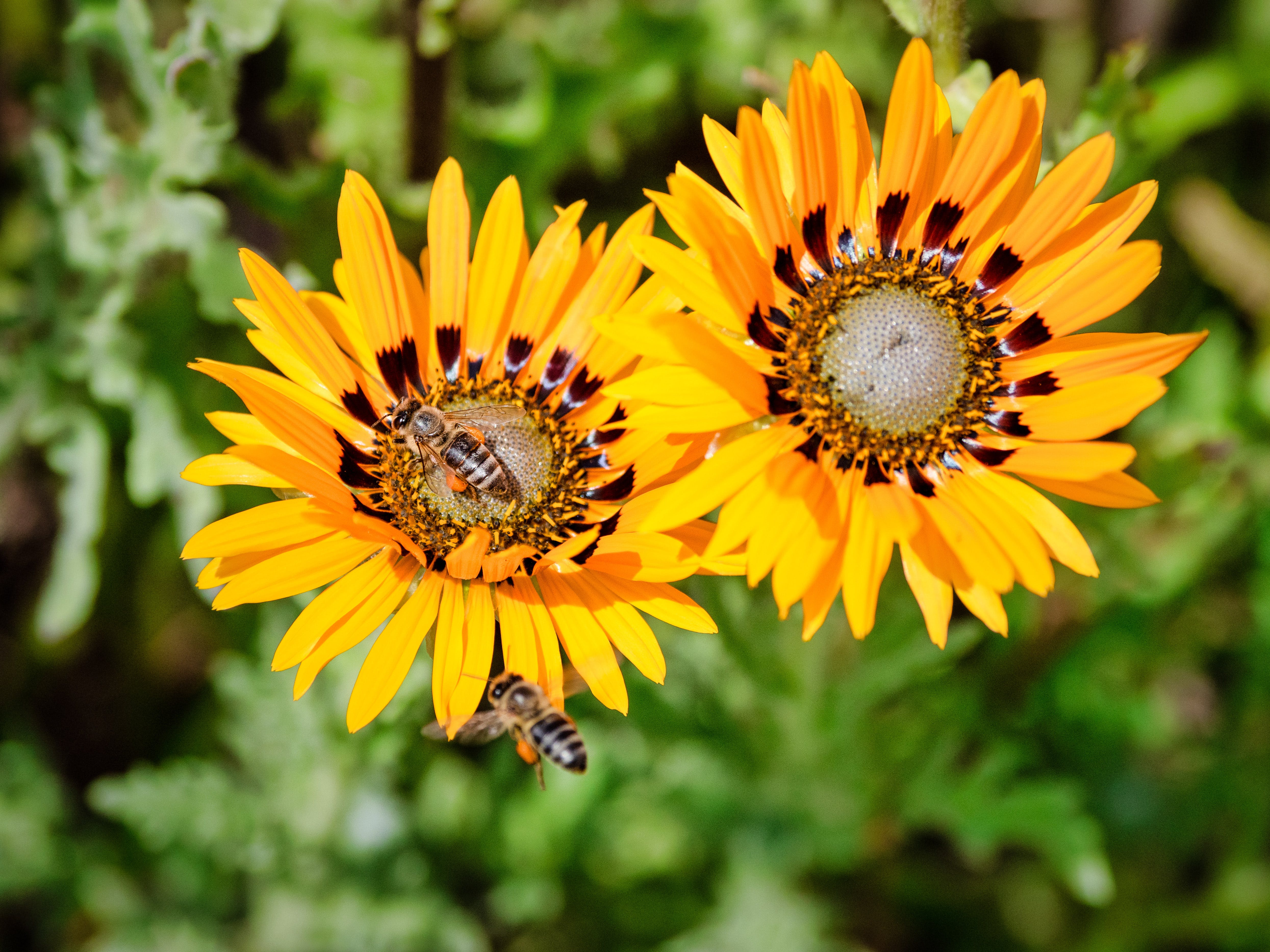 Free stock photo of agriculture, beautiful, beauty, bee
