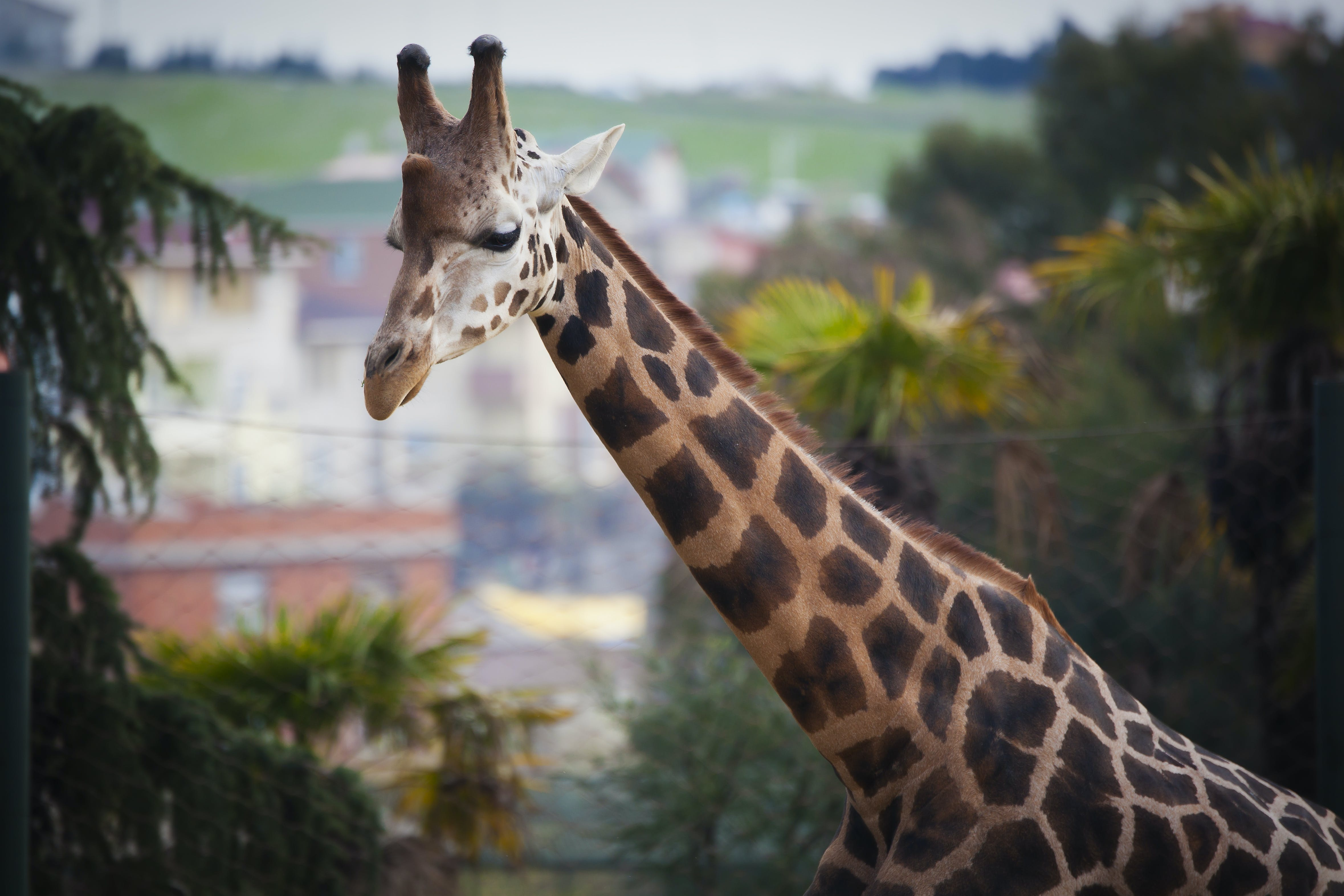 Free stock photo of giraffe, nature, nature background, nature life