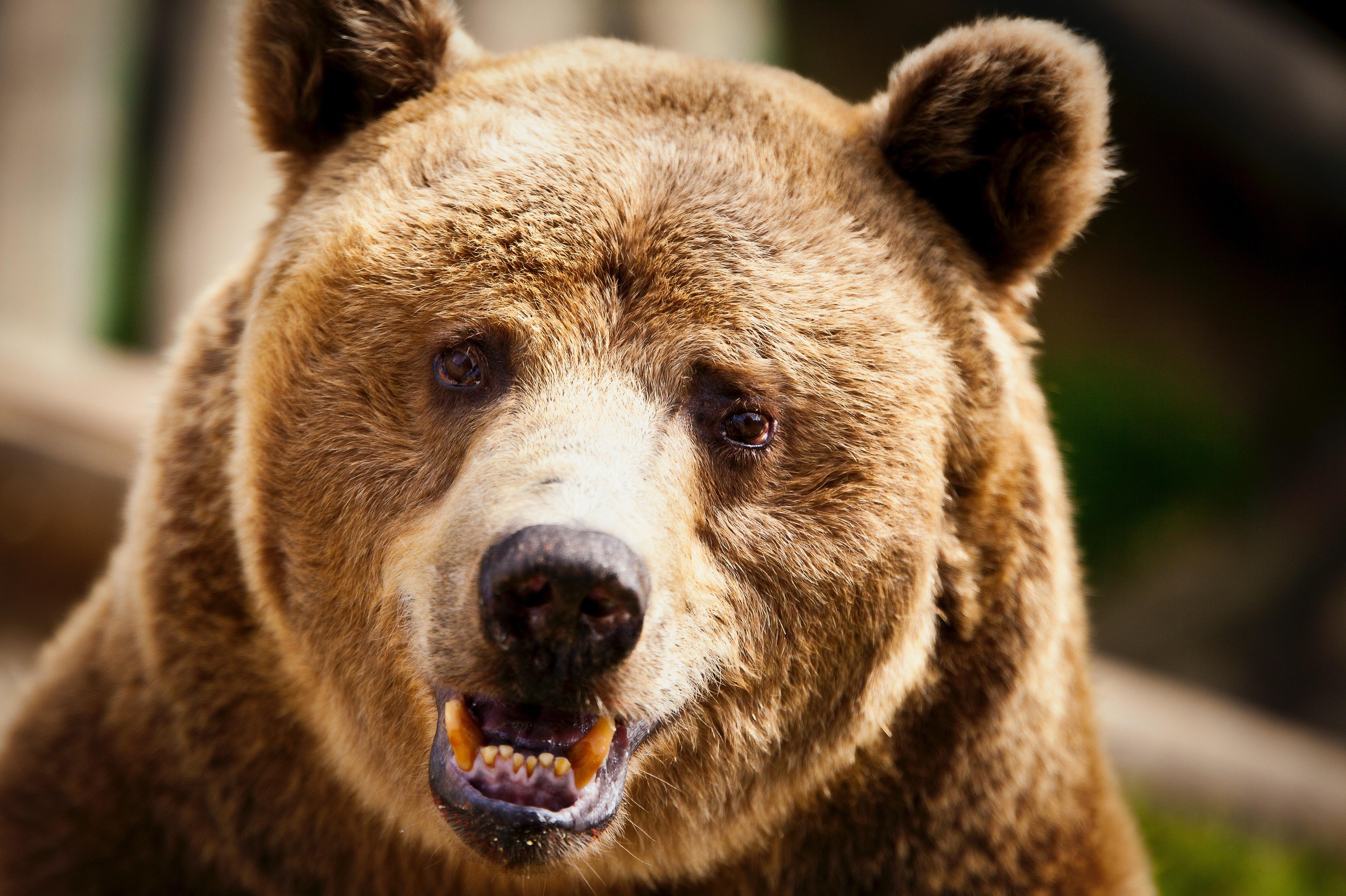 Free stock photo of animal, bear, nature