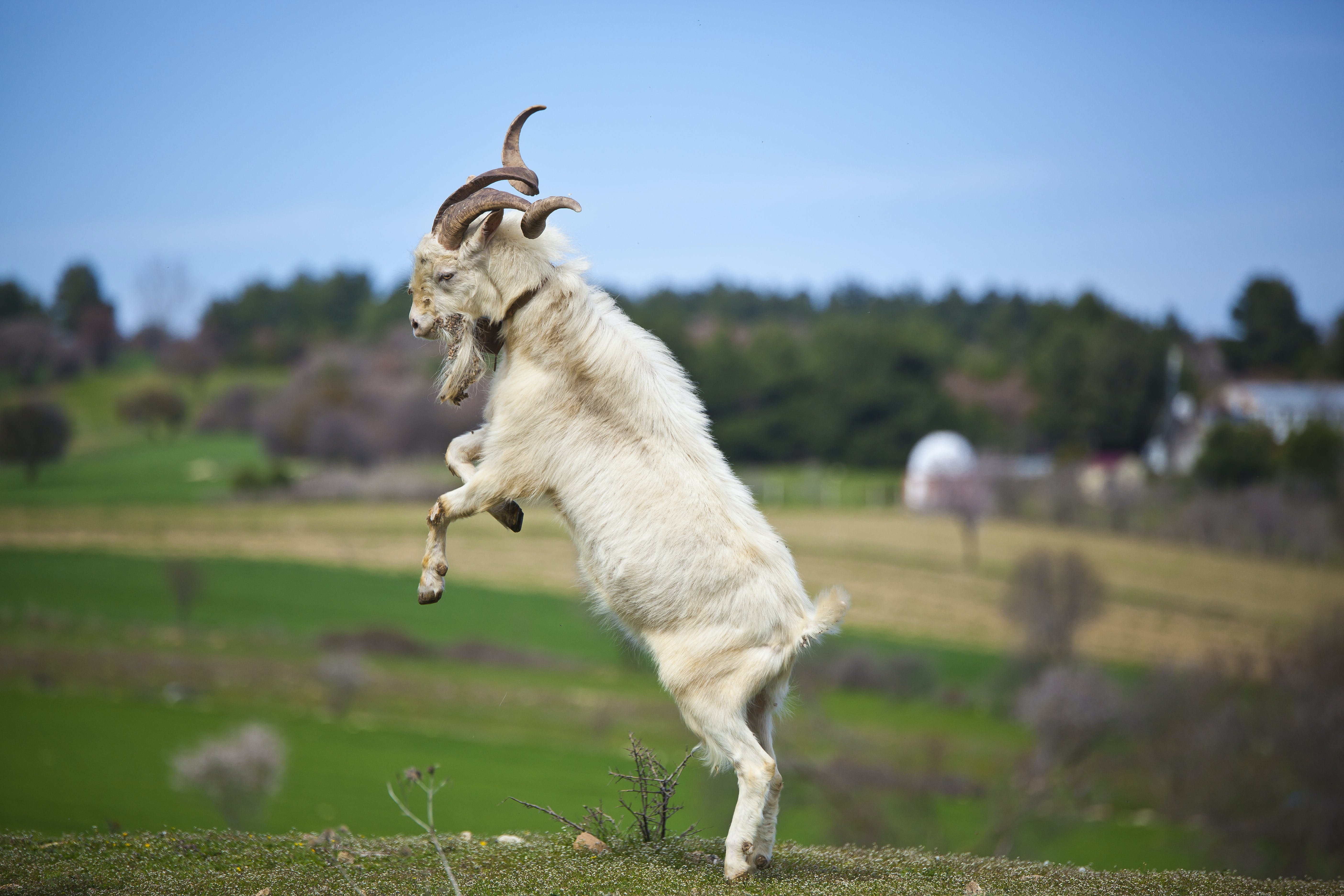 Free stock photo of fight, goat, jump, nature