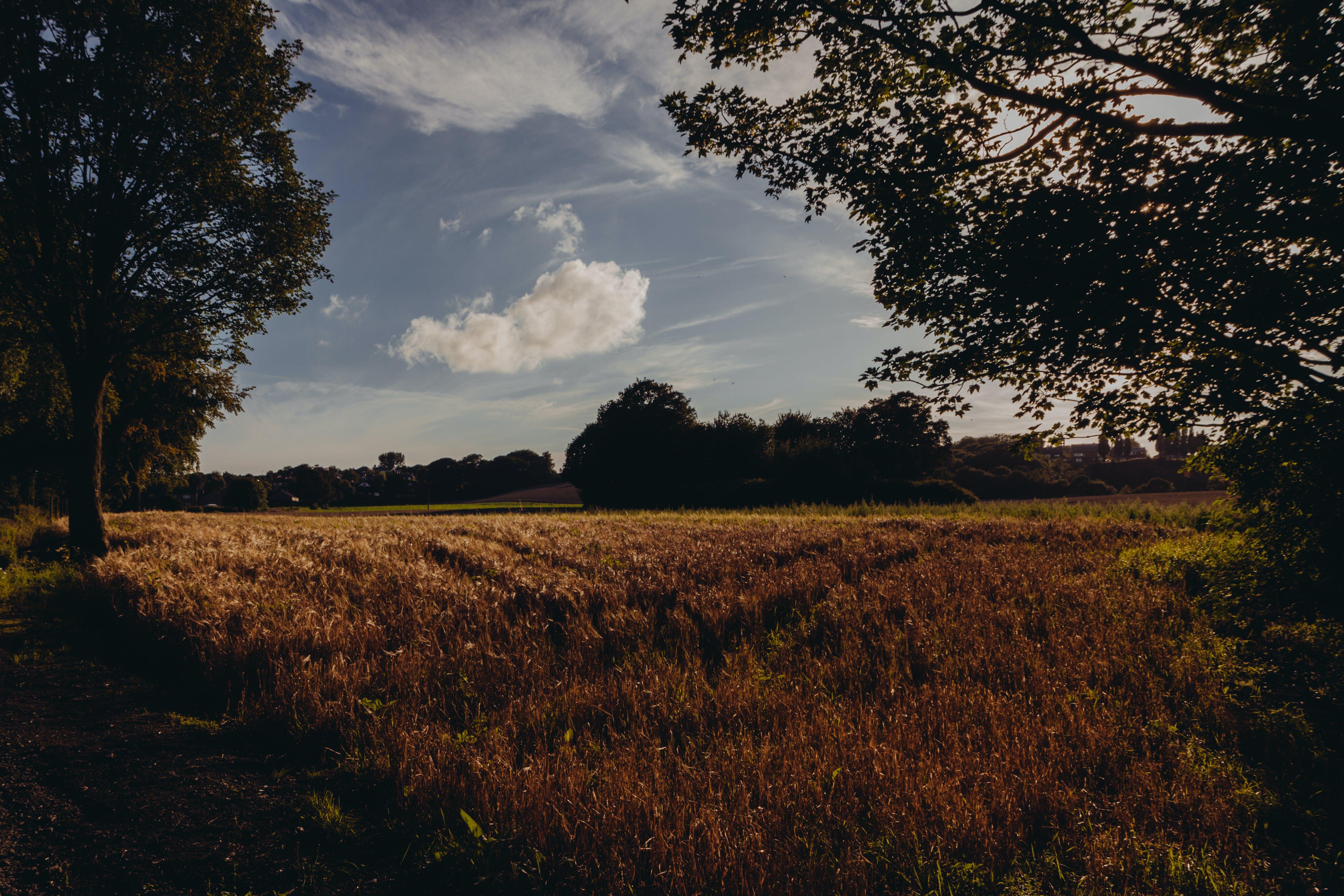Foto stok gratis bidang, gandum, rumput, sereal