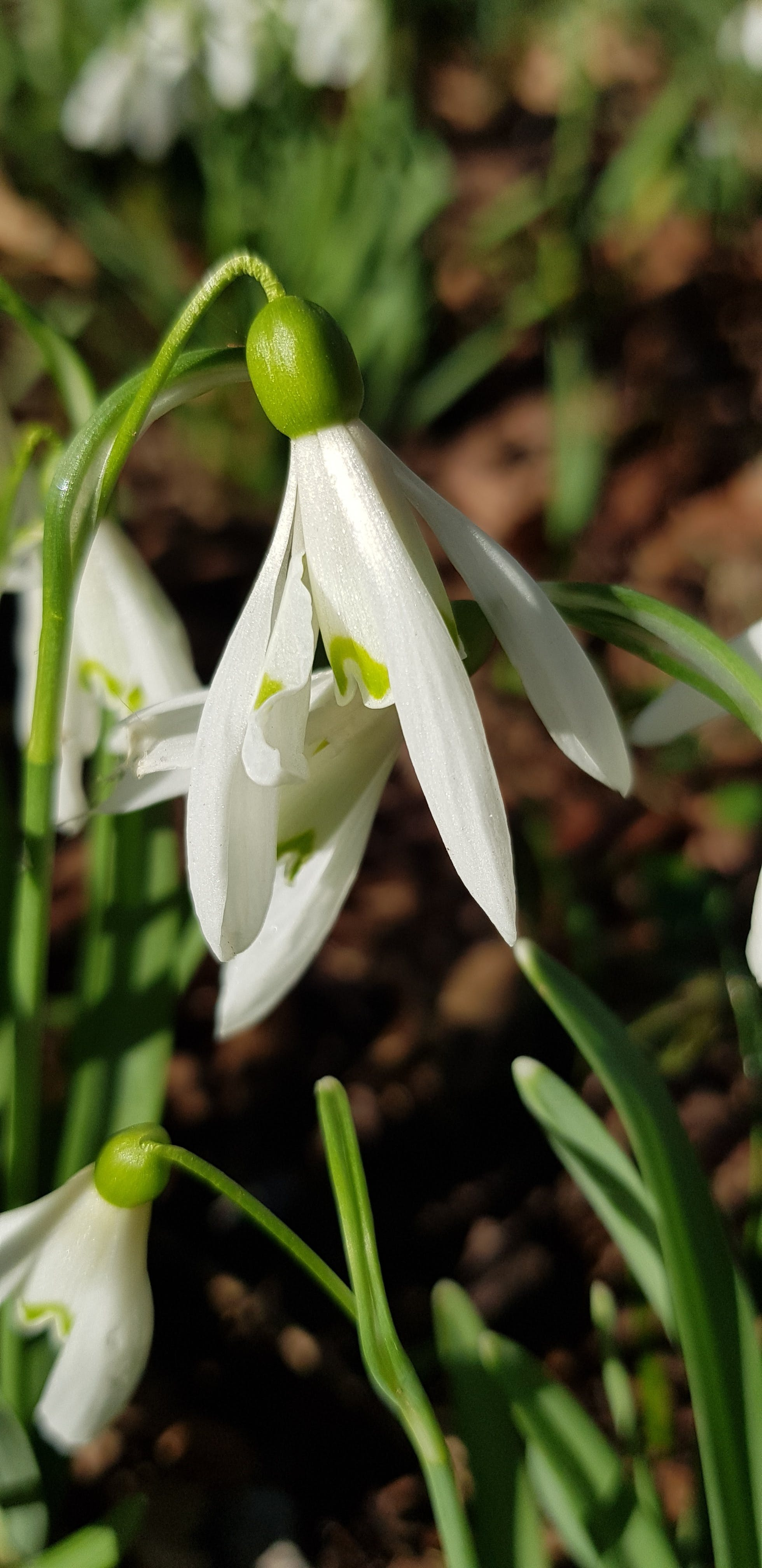 Free stock photo of flower, samsung galaxy s8, snowdrop, undergrowth