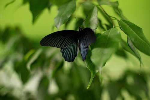 Black Butterfly in a Green Leaf Close-up Photography
