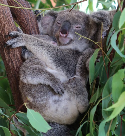 Free stock photo of australia, Australian koala bear, Gum Tree, koala