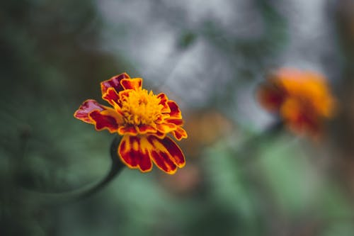 Free stock photo of flowers, natuire, spring flower