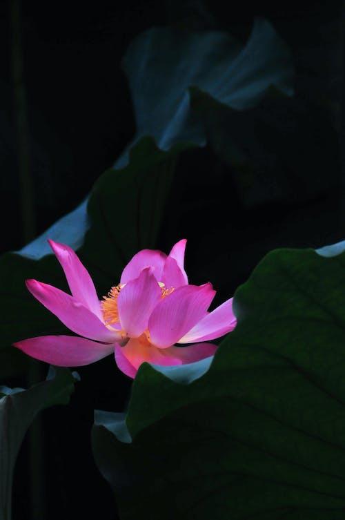 Ảnh lưu trữ miễn phí về cánh hoa, hoa sen, màu tím, nụ