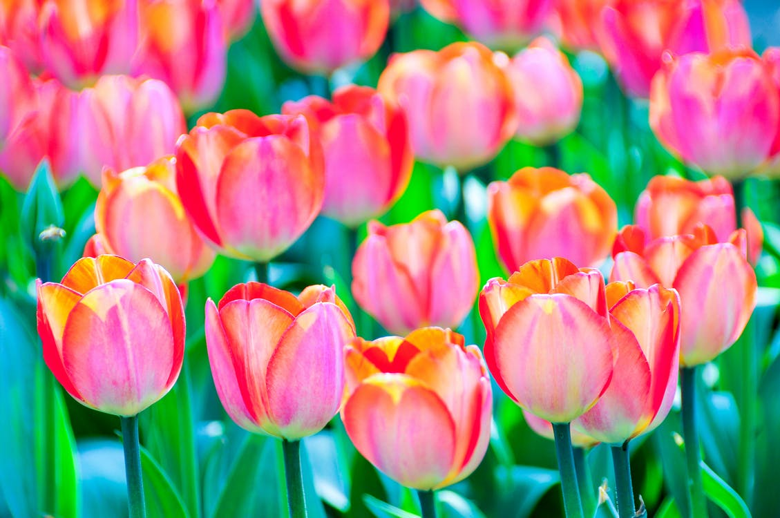 꽃, 빨간, 튤립
